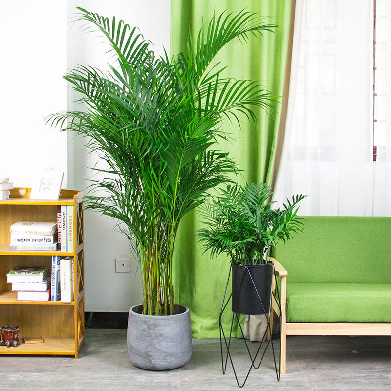 散尾葵盆栽凤尾竹袖珍椰子万年青办公室内花卉四季常青大型绿植物