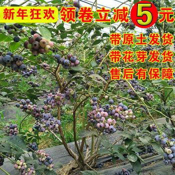 蓝莓苗盆栽北南方种植当年结果带原土发货四季蓝莓树苗试种果树苗