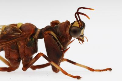 森林野人 螳蛉 标本原虫