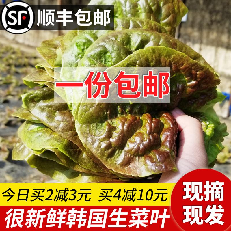 一份包邮新鲜韩国生菜紫色韩式生菜包饭包肉烤肉店新鲜蔬菜叶现摘