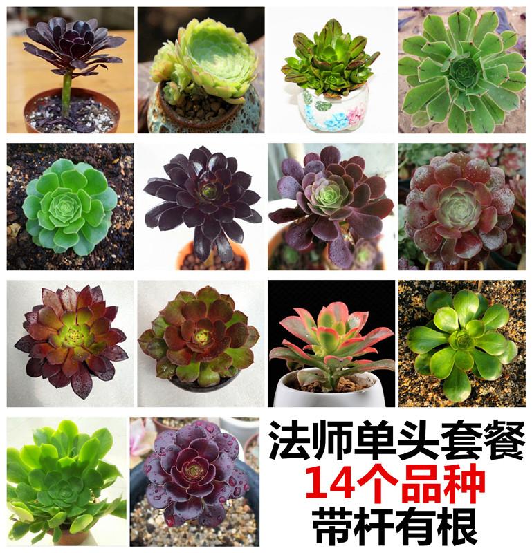 包邮14棵法师欧版紫羊绒黑法师韶羞多肉植物老桩办公室内组合盆栽