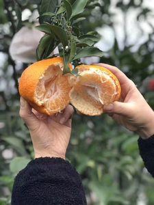 湖北可发货水果新鲜四川正宗春见粑粑柑丑橘耙耙柑柑橘桔子甜大果