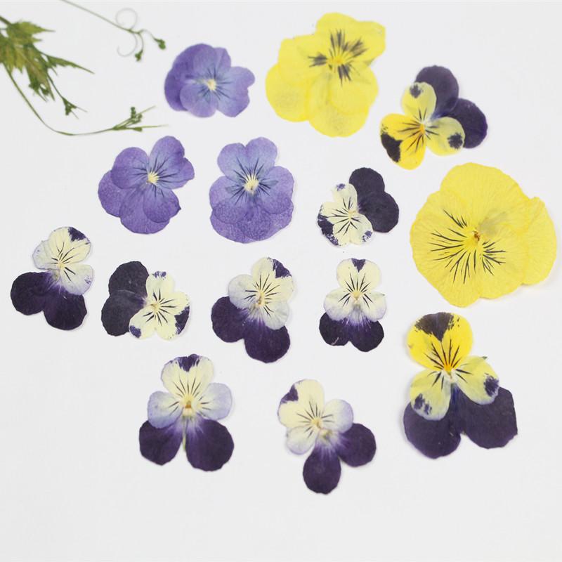 三色堇香堇干花押花植物真花标本DIY手工押画书签相框压花材料