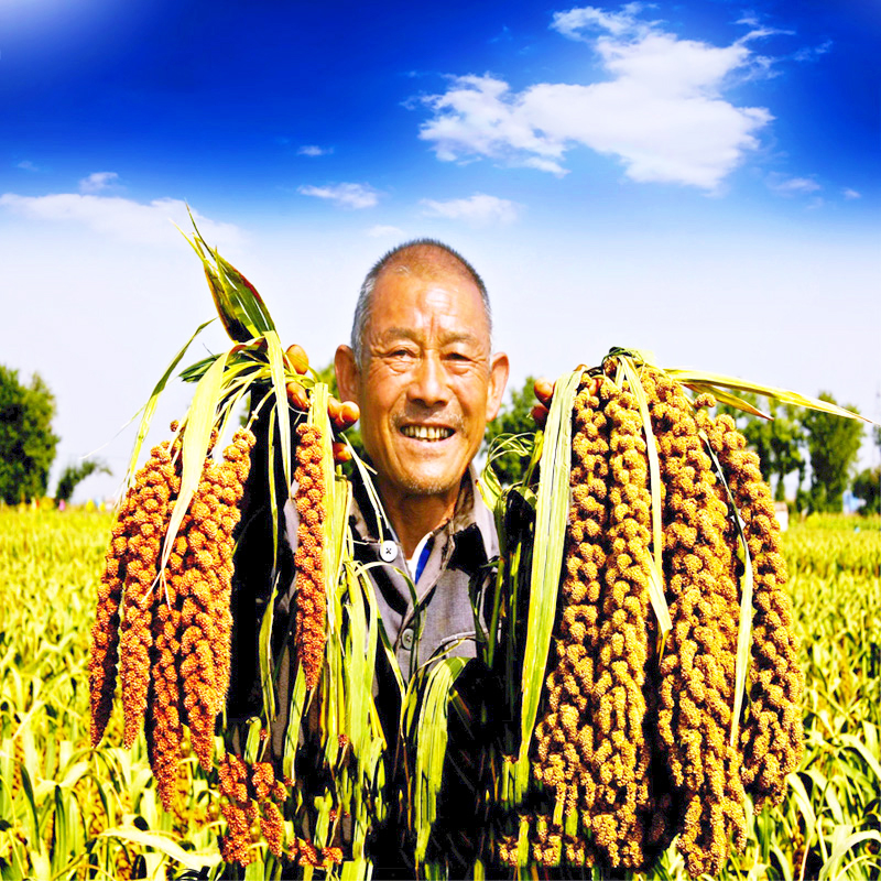 Five catties of high-quality fresh yellow millet, millet and cereals produced and eaten by farmers in bulk, non Shanxi parcel post