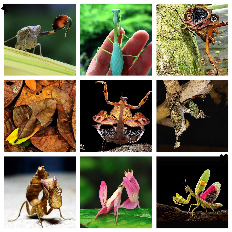 螳螂集合 螳螂活体 宠物 摄影爱好 爬宠 儿童礼物 异形图片