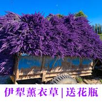 新疆伊犁天然薰衣草干花花束裝飾花家居裝飾驅蚊助眠全國包郵