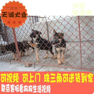 广州纯种活体德牧犬锤系德国牧羊犬幼犬弓背黑背警犬宠物狗狗