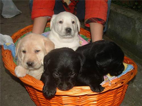 出售拉布拉多犬纯种幼犬导盲犬家庭活体宠物狗狗拉不拉多犬有公母