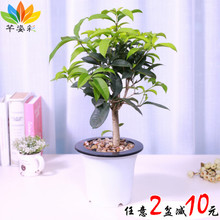 Osmanthus fragrans seedling Jingui Dangui four seasons Osmanthus fragrans potted flowers garden green plants in August