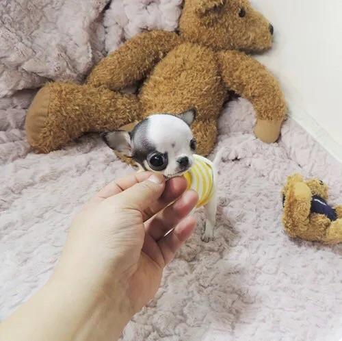 纯种吉娃娃幼崽狗狗长不大茶杯犬小型好养不掉毛宠物活体活物动物图片