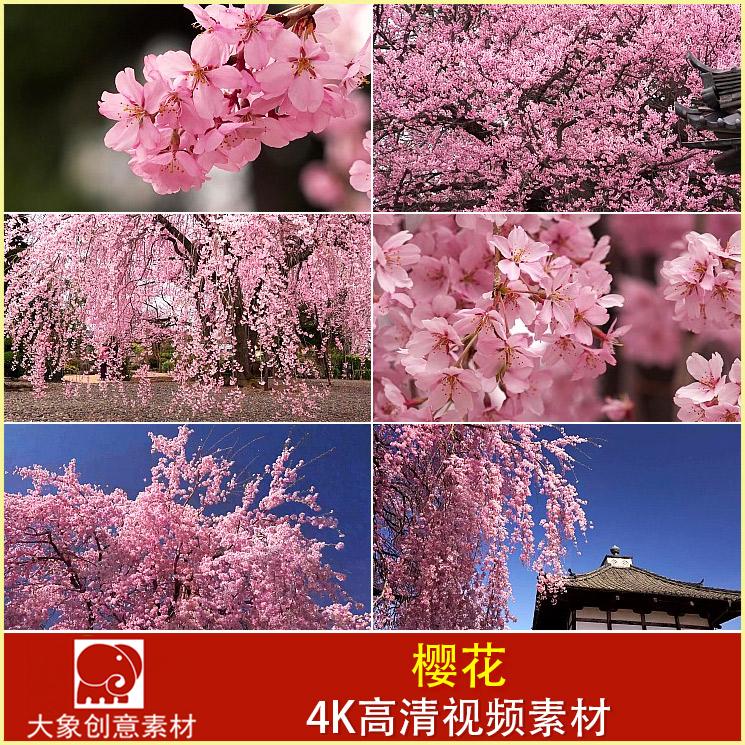 一树樱花 绚丽缤纷的花朵 日本樱花花瓣特写 4K高清视频素材-视频素材-sucai.tv