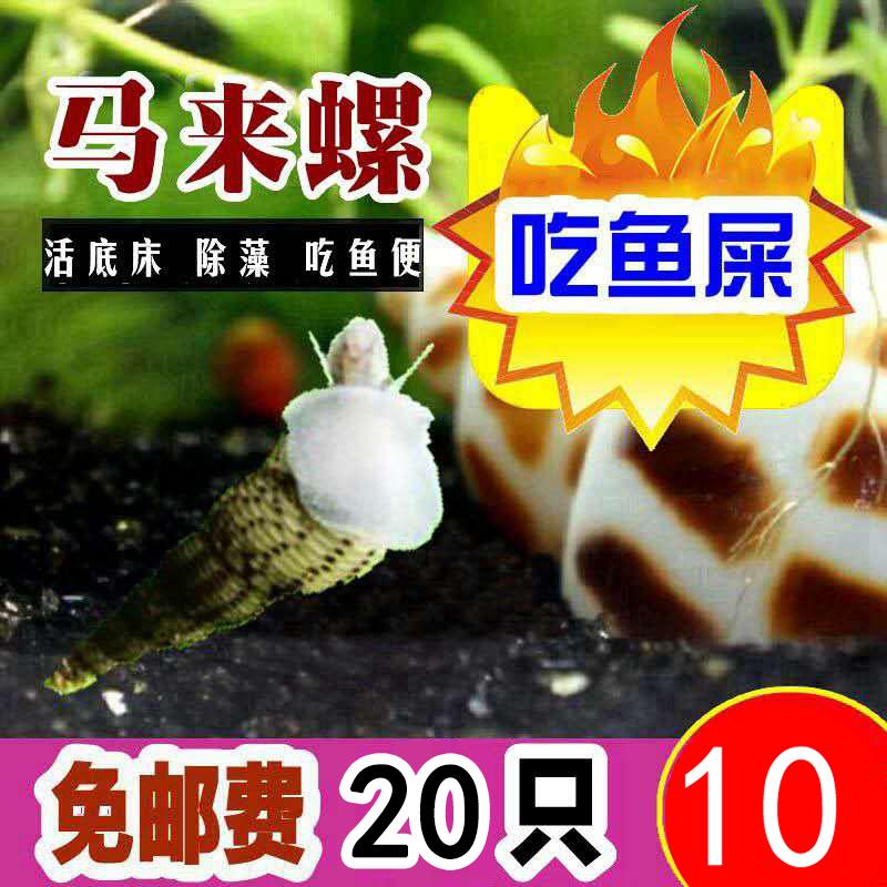 苹果螺观赏螺鱼缸清洁除藻螺草缸工具螺水族淡水宠物蜗牛活体包邮