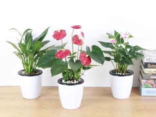 红掌 白掌 四季 开花盆栽带花发货 桌面盆栽花卉 粉掌 家居饰品