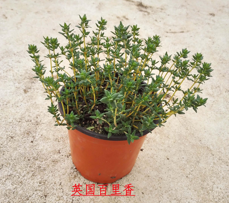 イギリス百里香盆栽西洋料理厨房調味料ハーブ植物盆栽花卉緑植芳香植物