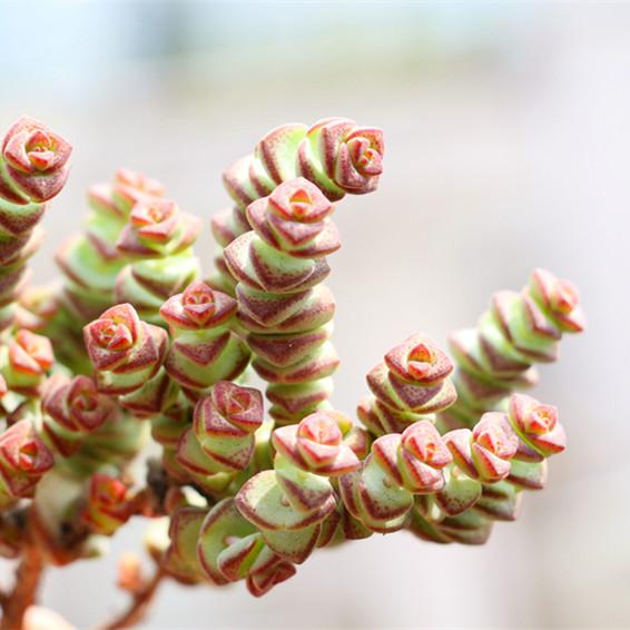 钱串 多肉植物小米星多肉植物半球乙女心 十字星锦易爆盆品种