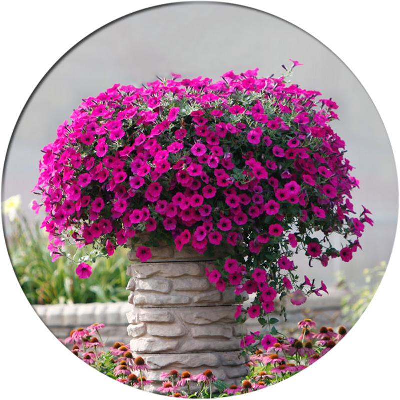 进口垂吊矮牵牛种子 四季播 春播 花种子 室内阳台盆栽易种 花籽