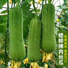 Cricket brand four season meat loofah seed, super spring and summer, giant precocious, fragrant melon, fruit, vegetable, seed, qunong family, spring and summer