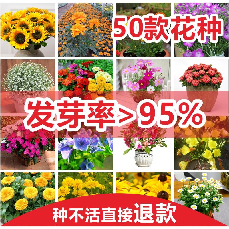 盆栽园艺花种子菊波斯菊家庭阳台四季玫瑰花卉种子满天星太阳花籽