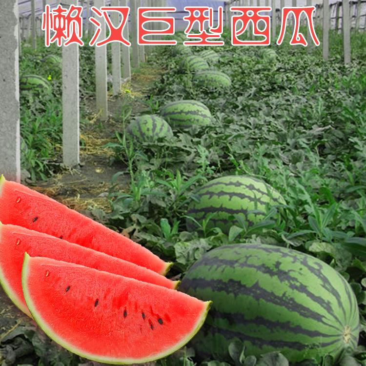 Watermelon seed authentic 8424 watermelon giant lazy big watermelon farmer four seasons super sweet red soil watermelon seed