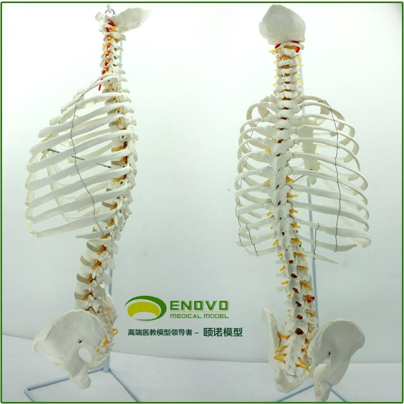 高端教学医用人体脊柱模型脊椎骨盆整骨胸骨肋骨胸腔骼模骨架型