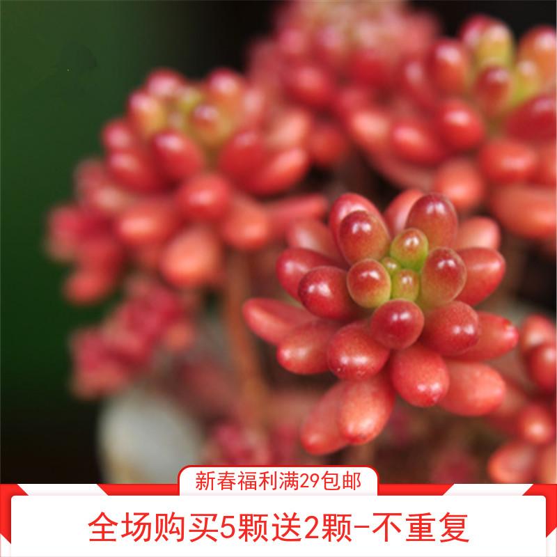 【红色浆果】韩国进口浆果盆栽花卉