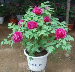 多花蔷薇英国玛丽花像牡丹菜友月季
