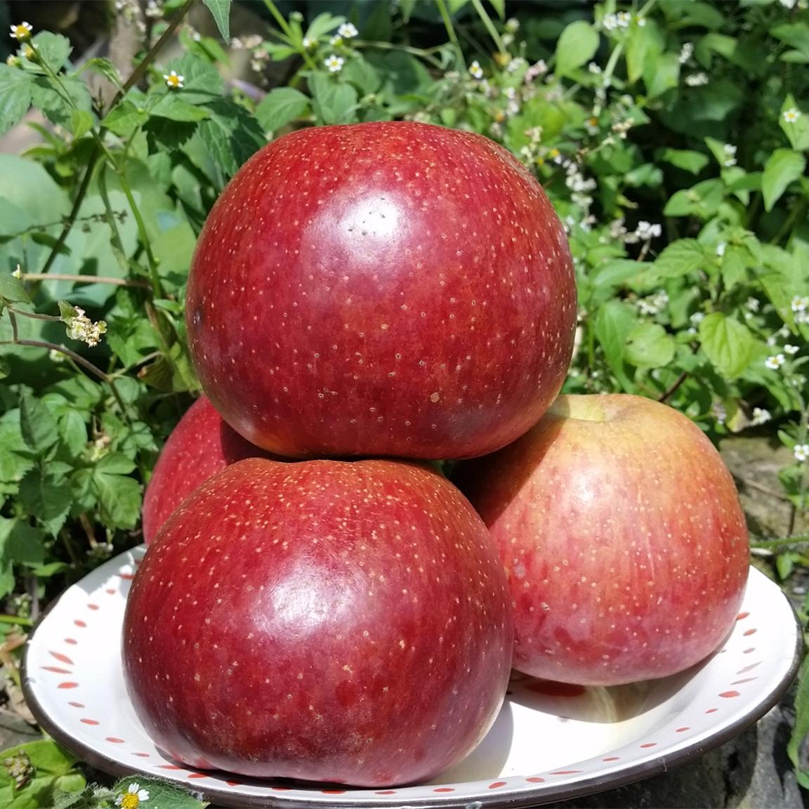 新鲜水果四川泸沽湖特产大凉山盐源丑苹果红将军富士苹果8斤80mm
