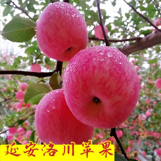 Authentic 30 cases of Red Fuji apples in Luochuan, Yanan, Shaanxi