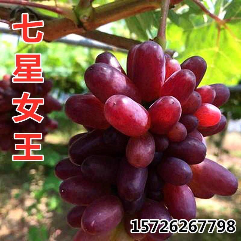 七星女皇七星の女王ブドウの苗早熟ブドウの新種は南北に鉢植えブドウの苗を植えます。