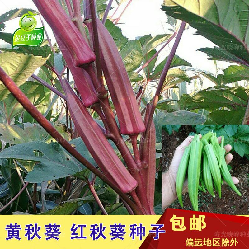 红秋葵种子黄秋葵四季播食用羊角豆家庭菜园盆栽大面积种植包邮