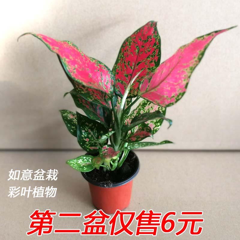 如意皇后盆栽土养彩叶植物净化空气观叶小植物火红万年青室内花卉