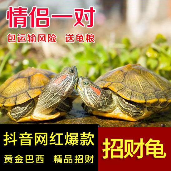 活体乌龟 大小宠物招财巴西黄金龟宠物龟巴西龟外塘金线龟活物