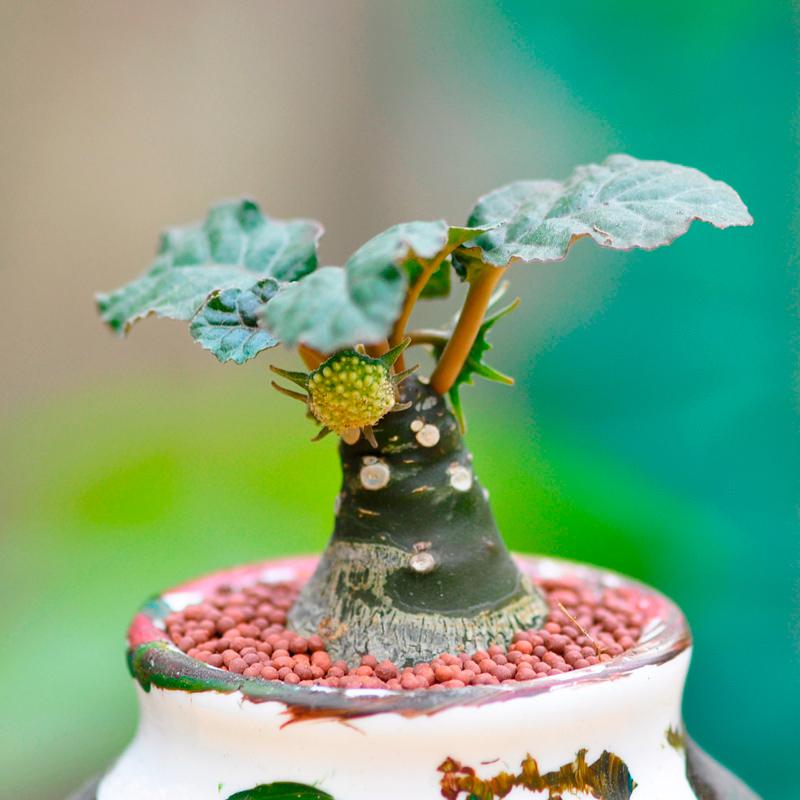 绵叶琉桑多肉植物办公室内趣味迷你带香味小盆栽绿植稀有品种块根