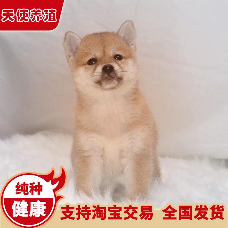 柴犬幼犬纯种活体小幼崽日本中型白宠物狗赤柴豆柴黑上海犬舍狗狗