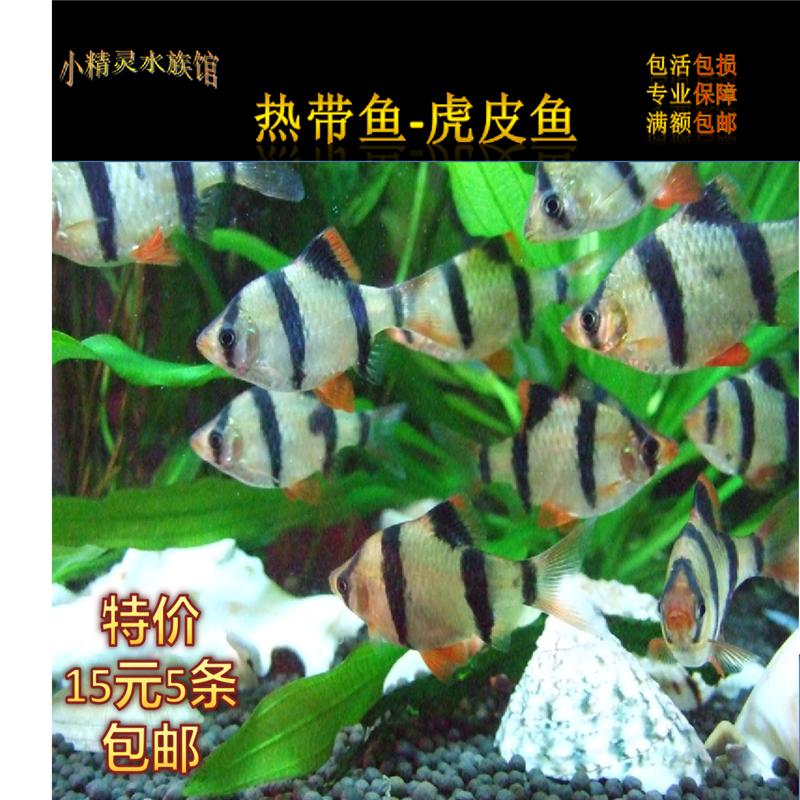 [小精灵]虎皮鱼活体鱼热带鱼小型淡水宠物鱼四间雀生虎皮鱼观赏鱼