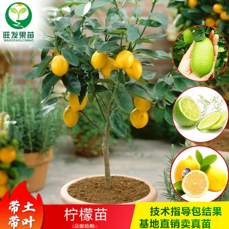 台湾四季柠檬苗香水无籽柠檬树苗尤力克柠檬果树苗北京青柠檬盆栽