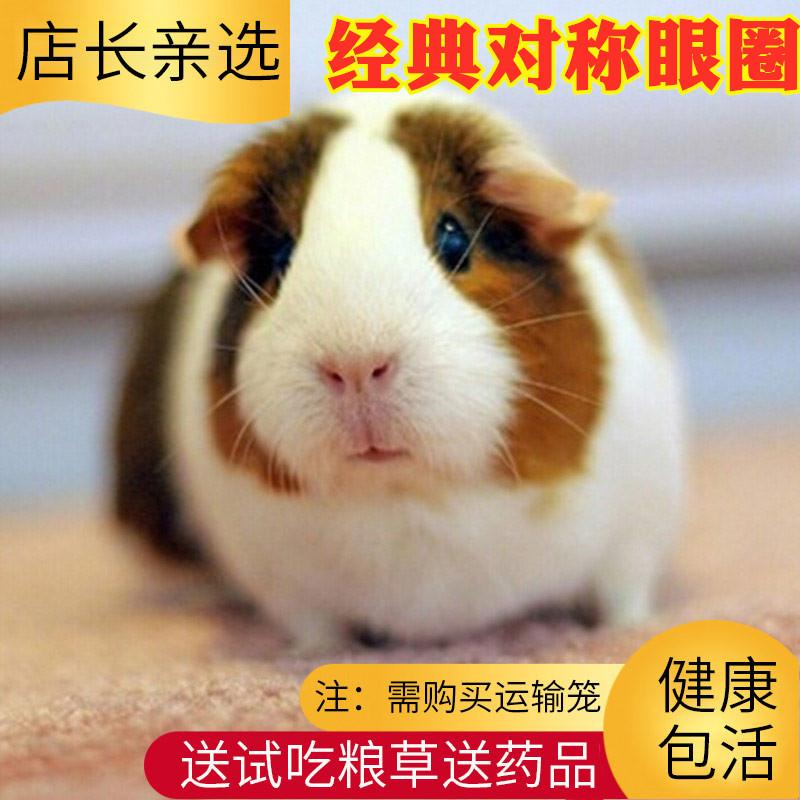 店长推荐宠物荷兰猪活体活物宝宝豚鼠天竺鼠彩豚幼崽家养健康包活