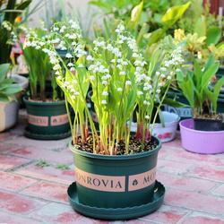 铃兰球根10颗带芽花苗根茎耐寒种球盆栽当年开花花卉浓香芳风信子