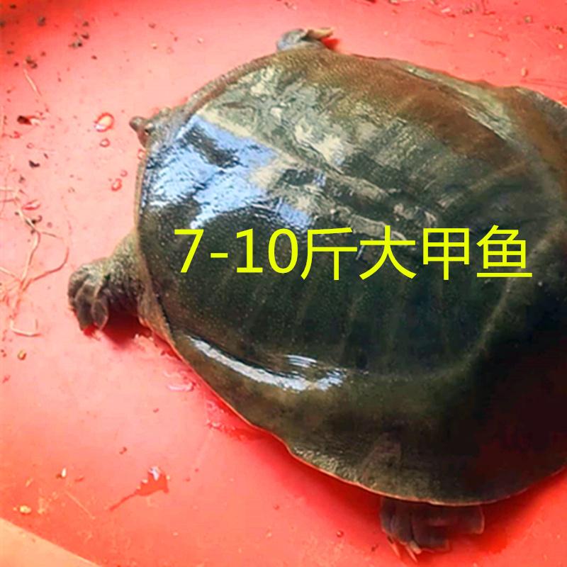 生态大甲鱼马甲特老水鱼中华鳖10年王八老脚鱼活体10斤8斤9斤7斤