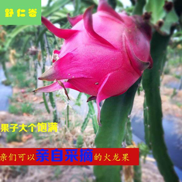 限10000张券现摘广西红心5斤热带纯天然火龙果