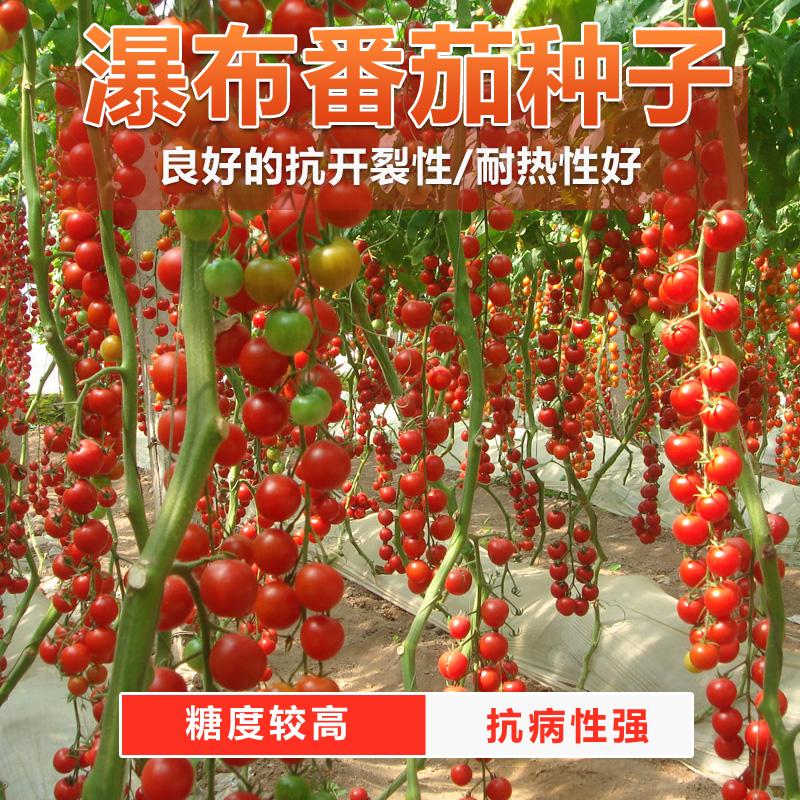 瀑布小番茄种子 超甜圣女果樱桃西红柿四季播盆栽蔬菜苗 圣女果苗