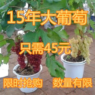 15年葡萄树苗萄葡树苗水果树苗南方北方种植四季盆栽爬藤当年结果