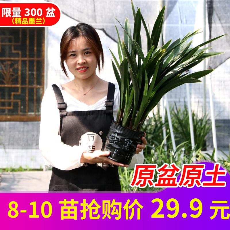 【原盆带土】墨兰金边客厅室内兰花苗11月29日最新优惠