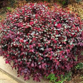 大型红继木树桩盆景高档盆景 精品盆栽红花继木庭院植物实物拍摄