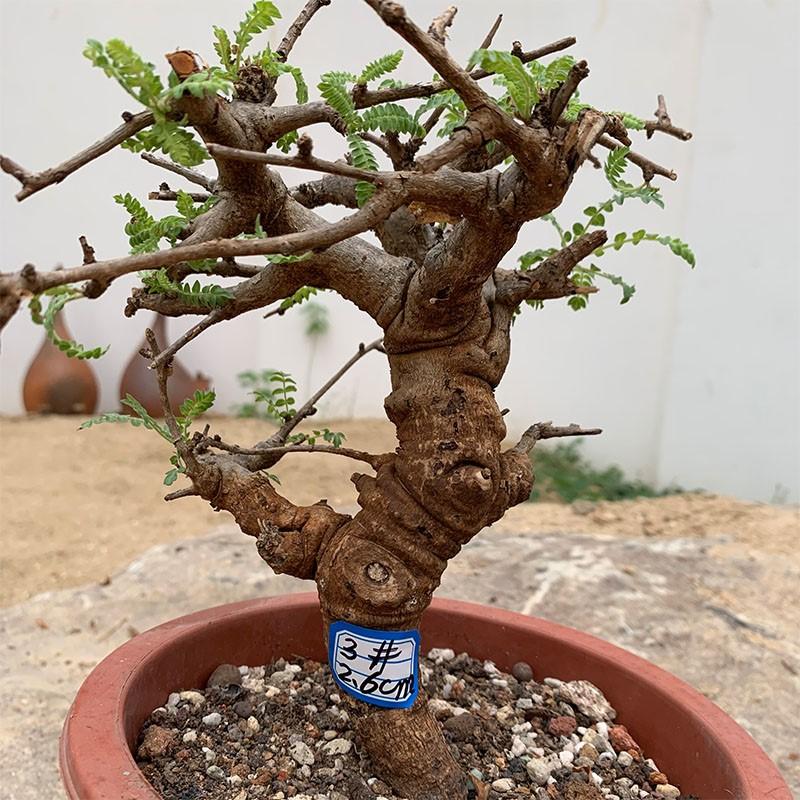 块根植物块根多肉植物 橄榄科 乳香属 尼勒达乳香 Boswellia negl
