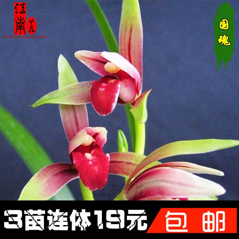 24种兰花盆栽 特价建兰墨兰春剑红素 国魂夏带花苞出售好养兰花苗