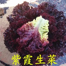Red leaf lettuce seed, big leaf, Zixia, Zisheng, rapeseed, farmhouse, Zisheng, rapeseed, potted vegetables in autumn and four seasons
