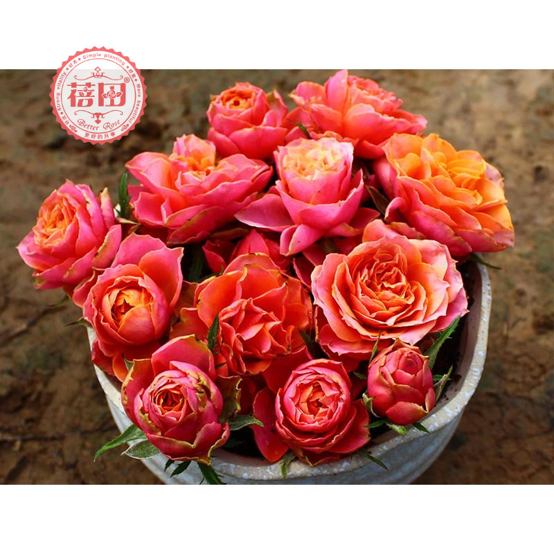 Beitian European moon forever Naples retro color micro moon four seasons flowering balcony courtyard potted rose