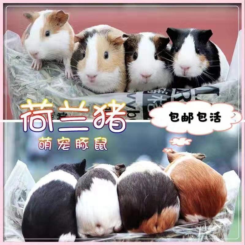 荷兰鼠活体宠物豚鼠活物荷兰猪宝宝天竺鼠健康专业售后包邮送零食