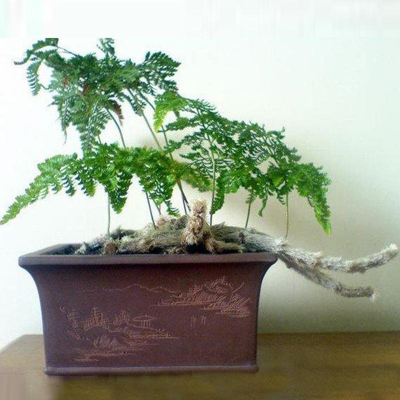 四季长青狼尾蕨盆栽桌面吸辐射甲醛多年生蕨类植物微景观奇趣绿植